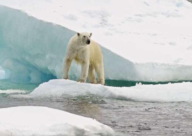Cet ours polaire a été photographié depuis la goélette Tara deux jours avant son arrivée au village inuit de Tuktoyaktuk (Canada). © F. Aurat, Tara Expéditions