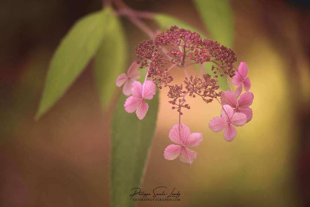 Le frêle hortensia