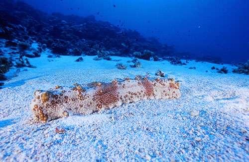 Atoll de Fakarava. Réserve de la biosphère, passe de Tetamanu. Holothurie géante (Thelenota anax) sur le sable. Cet animal peut mesurer jusqu'à un mètre de long et 15 centimètres de diamètre. Elle est de couleur crème ou grise, avec éventuellement quelques taches brunes. © Photographe Alexis Rosenfeld Tous droits réservés