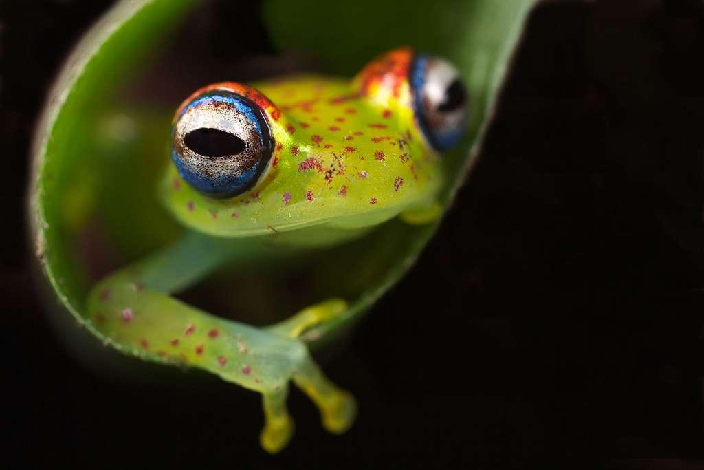 Boophis tasymena, une grenouille qui aime les arbres