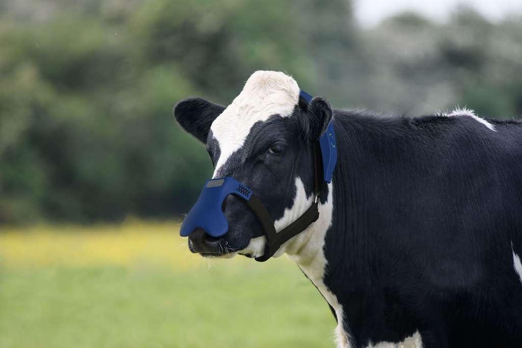 Le masque réduit de 32 % les émissions de méthane des vaches. © Zelp