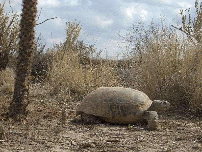 La tortue du désert (Gopherus flavomarginatus) est une espèce endémique des États-Unis. © mbtrap, Wikipedia, cc by sa 3.0