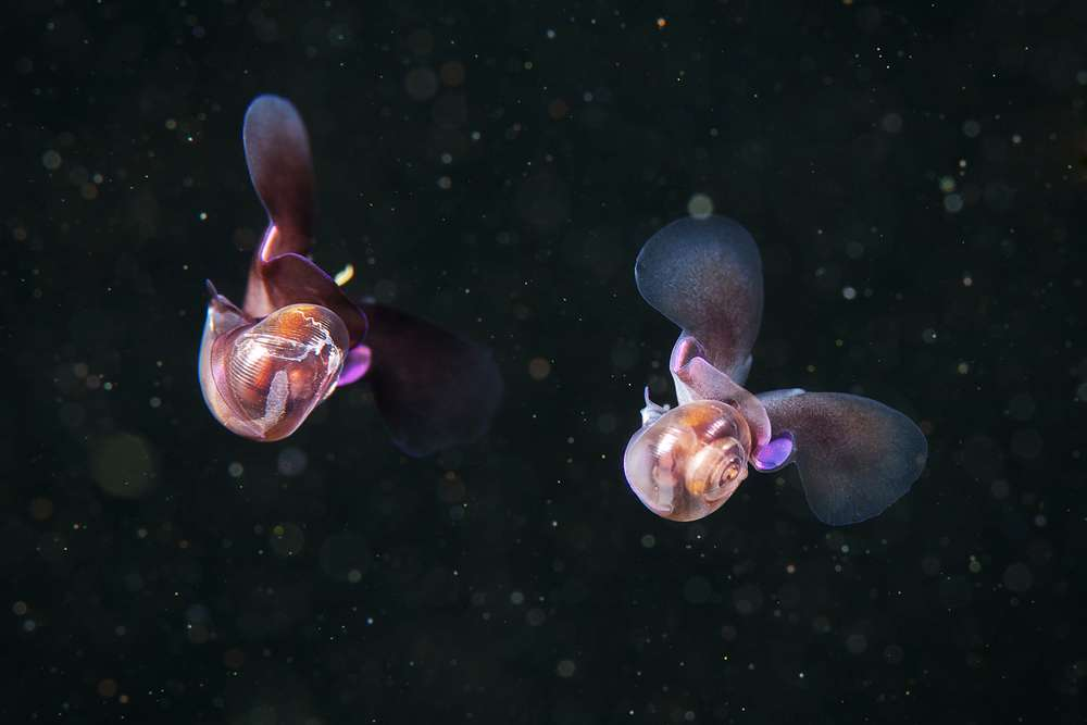 Le papillon des mers, ce prédateur : Limacina helicina