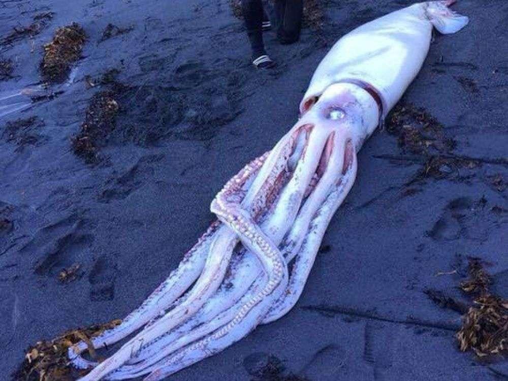 Un calamar géant échoué sur une plage de Wellington en Nouvelle-Zélande. Ce spécimen mesurait plus de quatre mètres. © Facebook, Ocean Hunter Spearfishing & Freediving Sprecialists