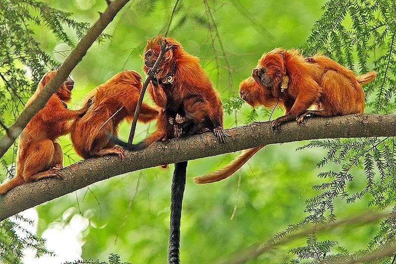 Famille de tamarins lion doré. © Steve, CC by-SA 2.0