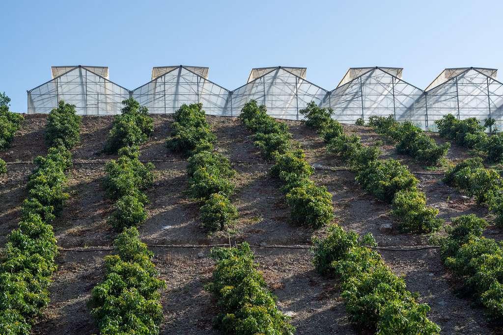 L'avocat a besoin de cinq fois plus d'eau que la tomate. © Barmalini, Adobe stock