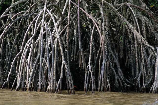 La mangrove accueille une biodiversité riche et fixe efficacement le carbone. © rhum1legrand, Flickr, cc by nc 2.0