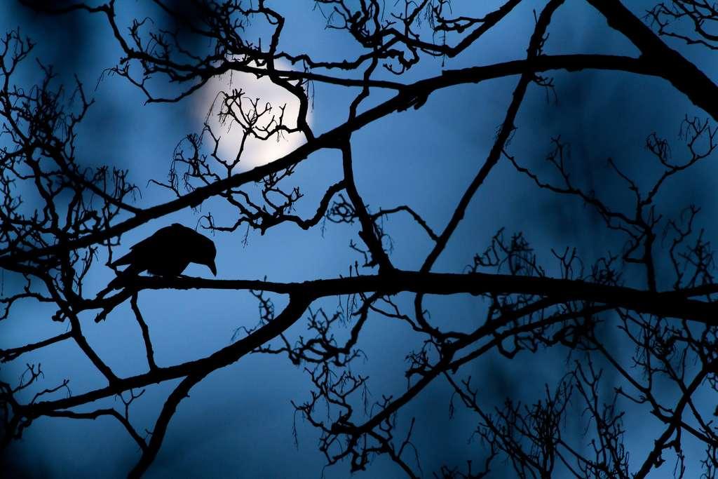 Une corneille, créature très intelligente et pourtant mal aimée, ici sur une branche, en compagnie du globe lunaire. « Si une image pouvait être un poème, ce serait celle-là » a déclaré Lewis Blackwell, membre du jury. © Gideon Knight, 2016 Wildlife Photographer of the Year