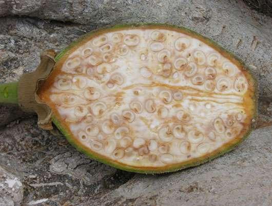 Jeune fruit de baobab non arrivé à maturité. © S. Garnaud - Reproduction et utilisation interdites