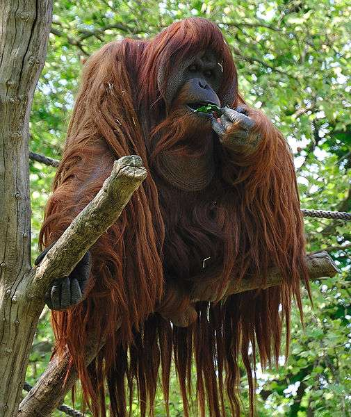 Orang outan mâle. © David Arvidsson, CC by 2.0