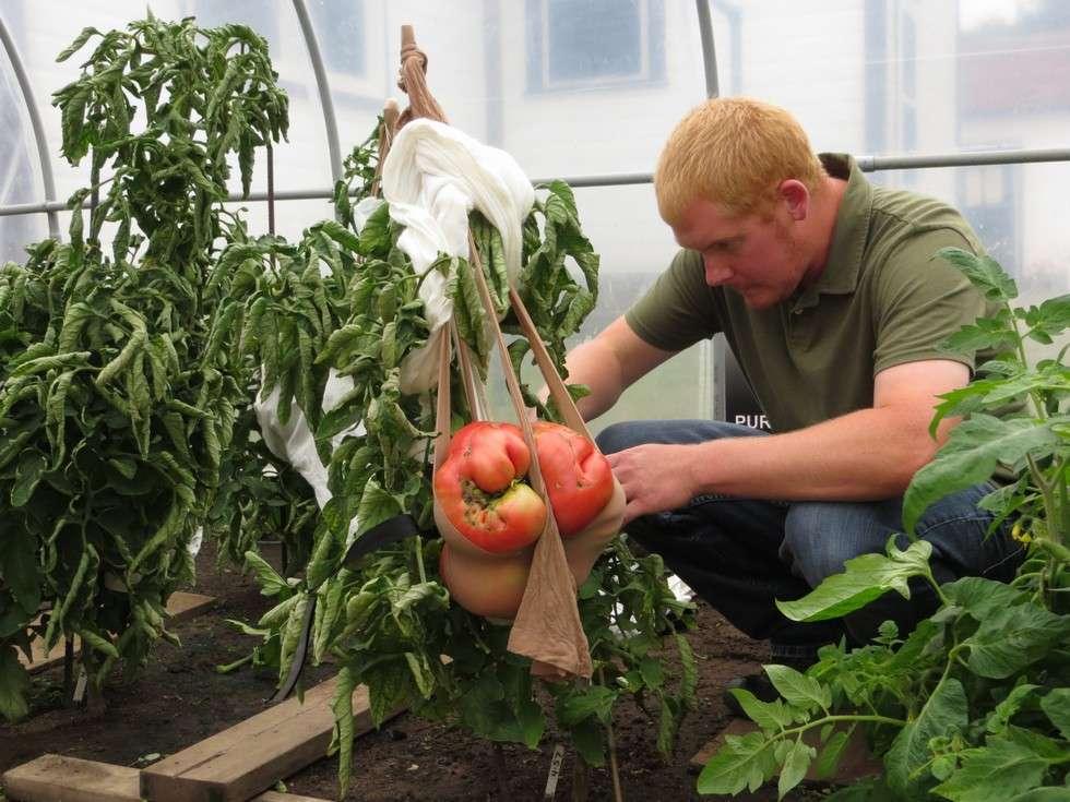 Une tomate titan. Dan MacCoy se prépare à la cueillir. © Dan MacCoy