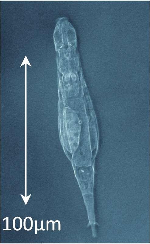 Les rotifères bdelloïdes se trouvent en abondance sur toute la surface du globe (principalement dans les milieux humides). Après dessèchement complet ou exposition à des doses énormes de radiations, ils sont capables de réparer leur ADN, puis de reprendre une activité métabolique normale. Par ailleurs, les données biologiques et paléontologiques suggèrent qu'ils se reproduisent de manière exclusivement asexuée depuis des dizaines de millions d'années, un « scandale évolutif » allant à l'encontre des idées reçues, mais démontré par les auteurs de la présente étude. © Boris Hespeels, université de Namur