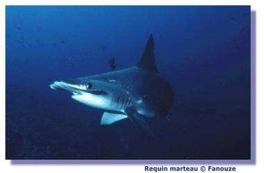 Le requin défend son territoire d'une éventuelle attaque. © Fanouze