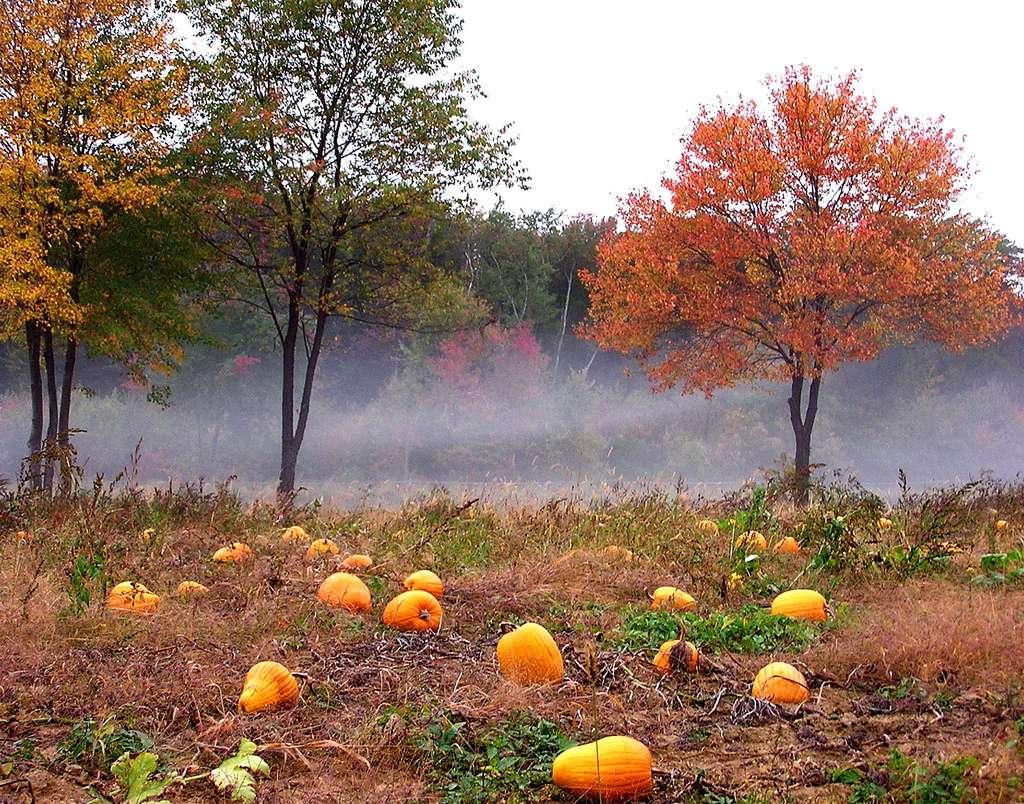 Des citrouilles dans la brume d'automne