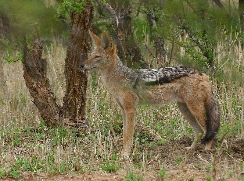Chacal à chabraque sud-africain. © Susann Eurich - GNU FDL Version 1.2