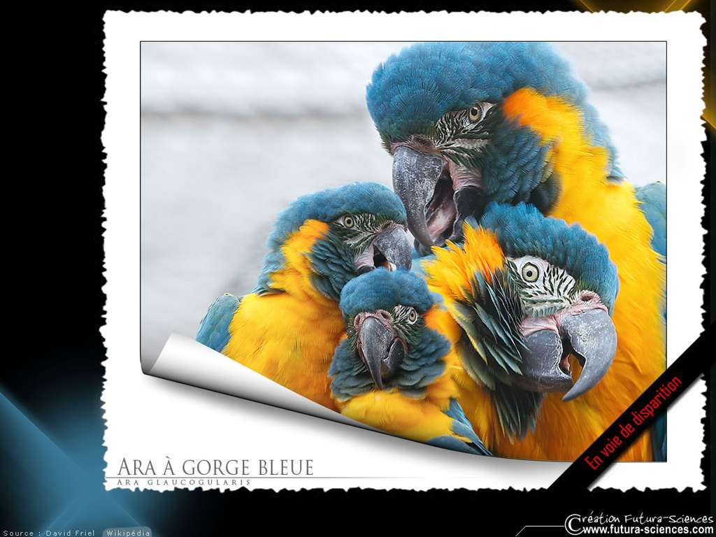 Ara à gorge bleue