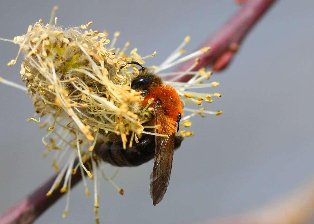 Andrena nitida - Grande andrène