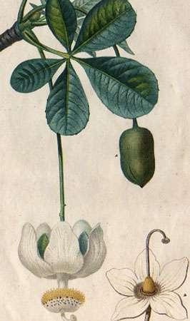 Ancienne gravure de feuilles et fleurs de baobab. M.J. Turpin, 1815-1820. © Reproduction et utilisation interdites