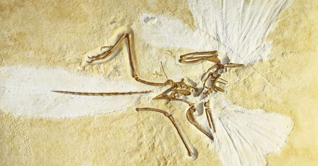 Lithographie d'un Archaeopteryx. © H. Zell, Wikimedia commons, CC by-sa 3.0