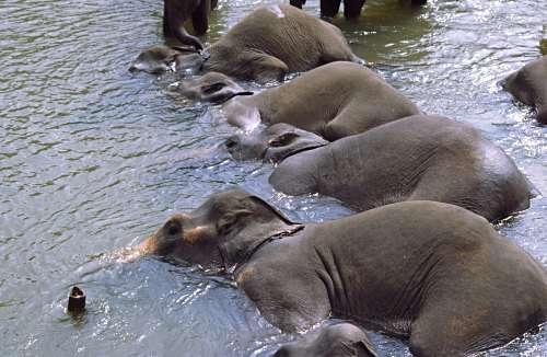 Un bon bain entre copains pour ces éléphants sri-lankais ! © Laurenz Bobke, Flickr, CC by-nc-nd 2.0