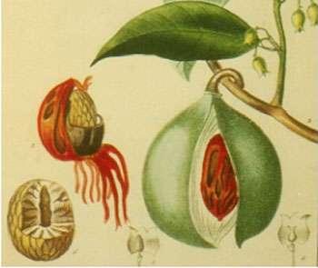 Le fruit du muscadier, avec l'arille à moitié détachée sur la noix à gauche où une partie de l'enveloppe en bois a été enlevée. © Muséum d'histoire naturelle