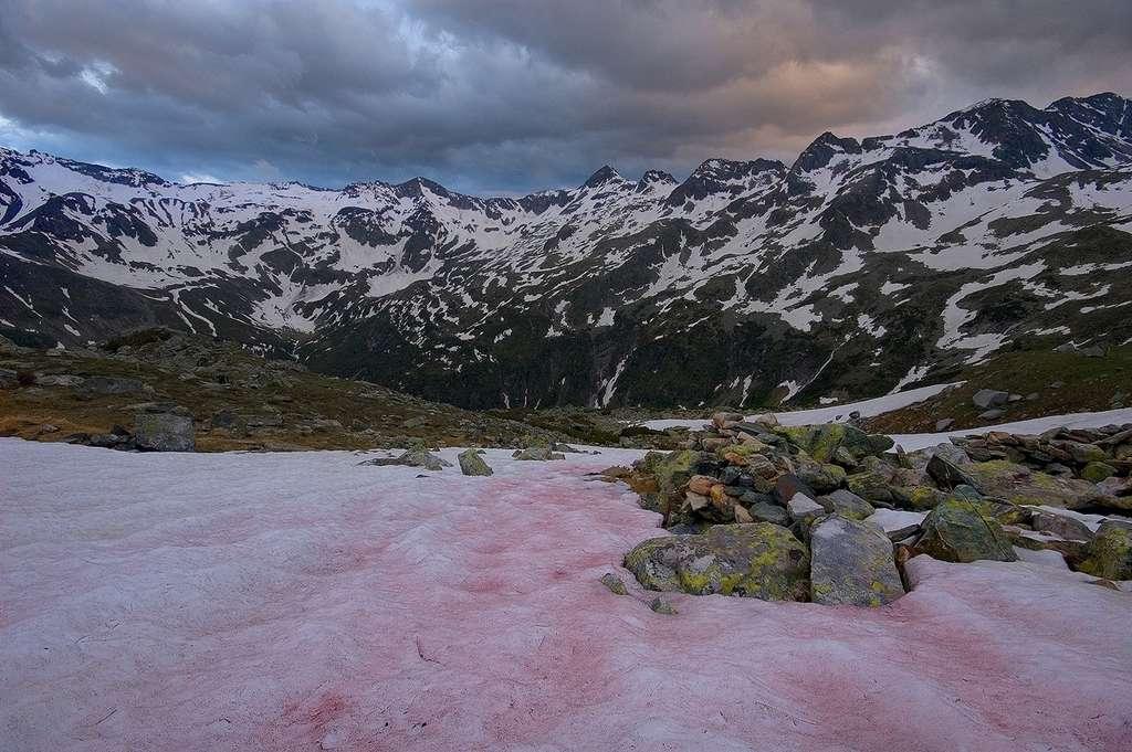 Les algues des neiges, aussi surnommées « sang des glaciers », se développent en haute altitude. Lorsque les températures baissent, les spores enfouies sous la neige germent et se dirigent vers la surface d'eau liquide. Leur couleur provient d'un pigment rouge qui les protège contre les rayons ultraviolets et contre le gel. © Petr Jan Juračka, Fotopedia, cc by nc 3.0