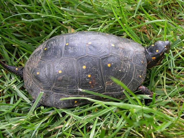 Tortue ponctuée de Pennsylvanie. © Flickr, Sophro, cc by nc sa 2.0