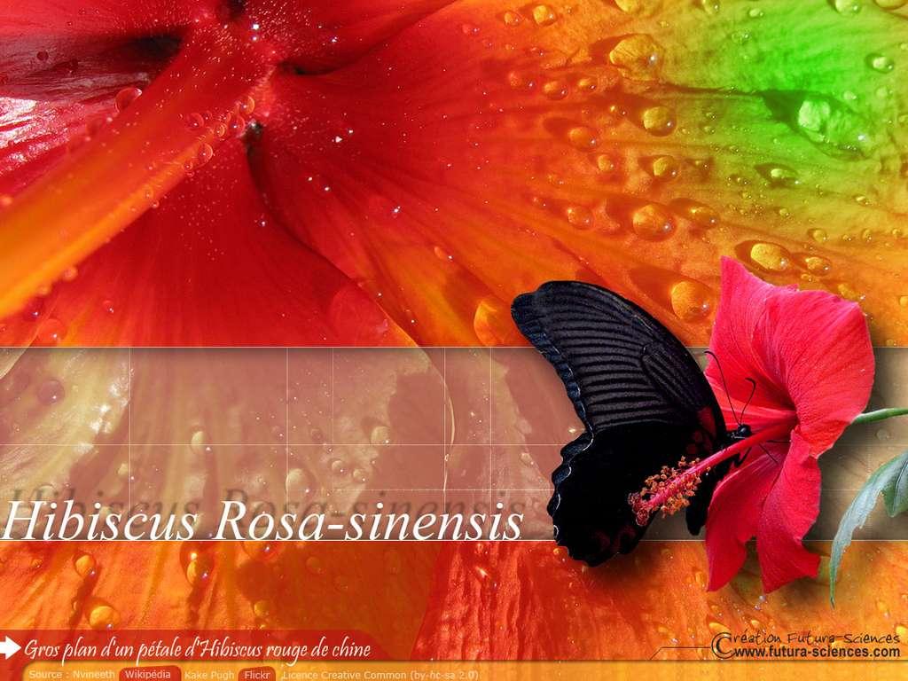 Hibiscus rouge de chine