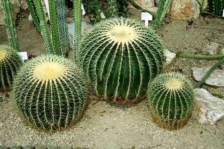 Echinocactus grusonii. © Karelj, domaine public