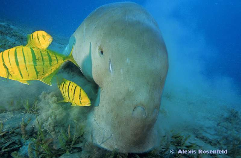 Le dugong, un bon apnéiste
