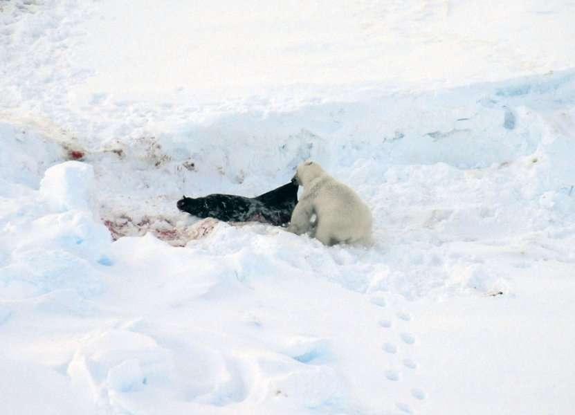 Cet ours polaire mange un phoque à capuchon adulte, qui constitue une part croissante de sa nourriture. Le phoque à capuchon peut peser jusqu'à 400 kg : il constitue donc une grande proie pour l'ours, qui pèse de l'ordre de 500 kg. © Rune Dietz, Aarhus University