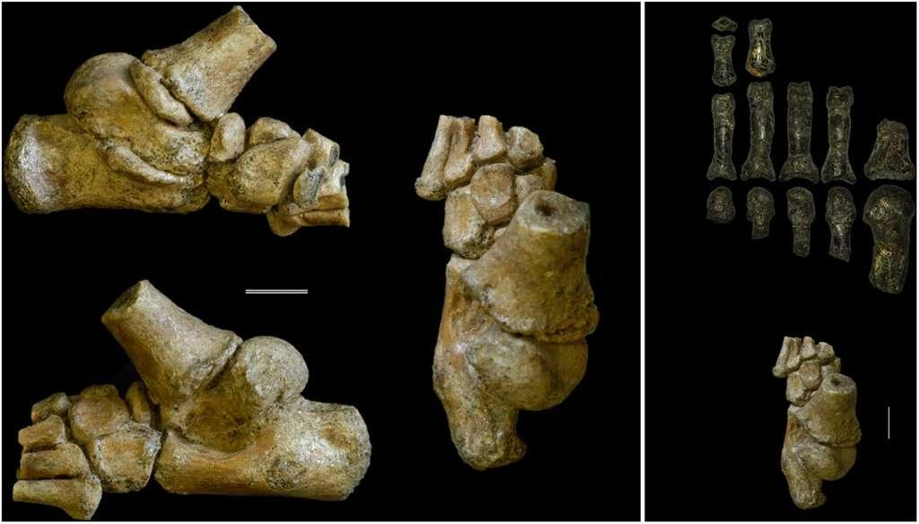 Le pied de Selam sous différents angles, à gauche. La barre représente 1 cm. À droite, le fossile de Selam (en bas) comparé à un fossile de pied d'un Australopithecus adulte (en haut). © DeSilva et al., Sciences Advances 2018
