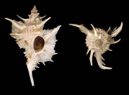 Fig. 2 : Siratus Beauii. © Jean-Pierre Pointier - Tous droits réservés