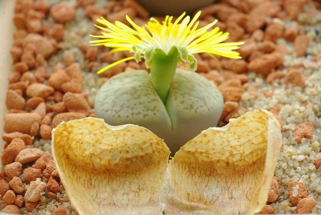 Lithops en fleurs
