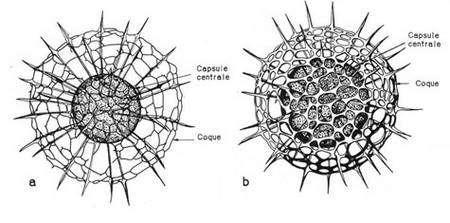 Croissance de Rhizosphaera haeckeli (d'après Hollande et Enjumet, 1960). Seul le squelette siliceux et la capsule centrale sont représenté. a : Forme jeune : le squelette n'est pas encore complètement formé, la capsule centrale est de relativement petite taille. b : Forme adulte : le squelette est terminé, le réseau de la coque s'épaissit et, corrélativement, la taille des pores diminue. La capsule centrale a augmenté de taille. Les coques ne se forment qu'à un moment bien précis de la croissance de l'organisme. Le dépôt de silice est un phénomène rapide. Il n'a en effet jamais été observé un stade pelliculaire ou partiellement silicifié.