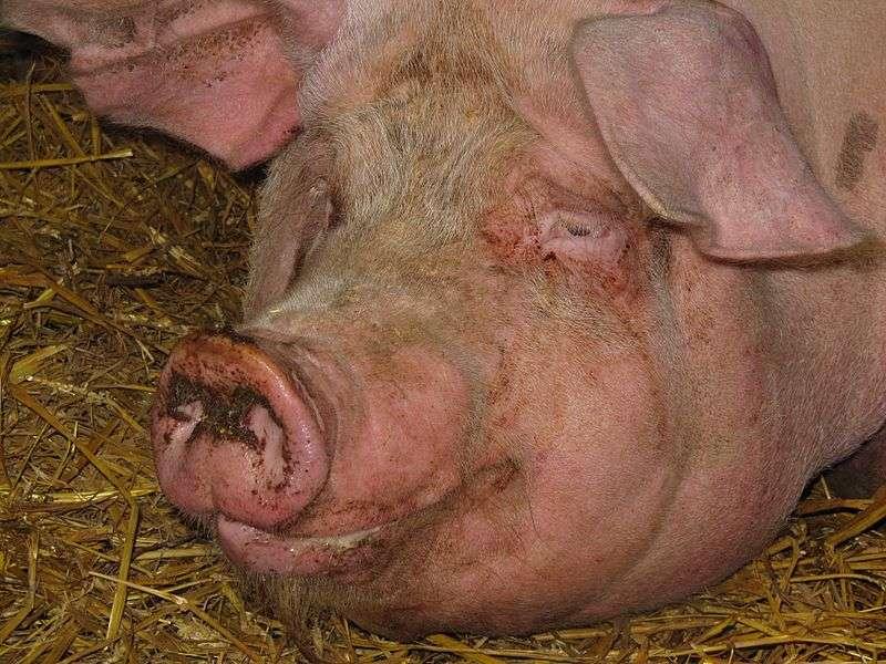 Ce nouveau virus CyCV-VN pourrait nous être transmis par les porcs et les volailles, qui présentent en grand nombre des traces d'un cyclovirus très semblable. © Sacpsi, Wikipédia, cc by sa 3.0