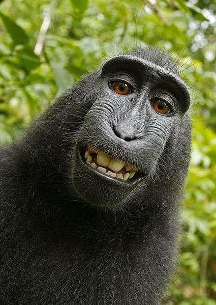 Autoportrait de macaque à crête. © Une femelle macaque, domaine public