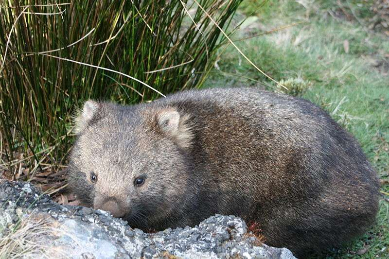Wombat de Tasmanie. © Poco a poco, Wikipédia, GNU 1.2