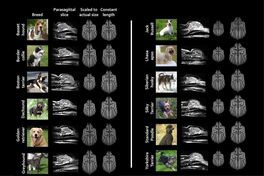 """Ici, un récapitulatif de quelques variations neuroanatomiques significatives entre les races de chiens. Les travaux des chercheurs de Harvard (États-Unis) devront être complétés pour inclure d'autres races de chiens. Ils devront aussi se pencher sur des chiens qui, plus que de """"simples"""" animaux de compagnie, continuent à remplir les rôles pour lesquels ils ont été sélectionnés. © Erin Hecht, Université de Harvard"""