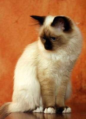 Le Birman, un chat doux et indépendant. © Olga Dziewulska, Licence GFDL/fr
