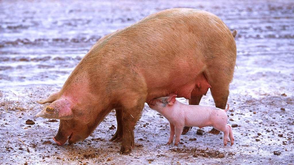 Le porc domestique