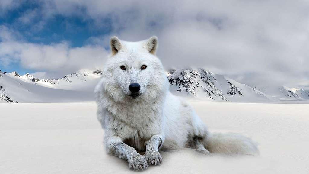 Le loup de Sibérie, un rôdeur dans la toundra