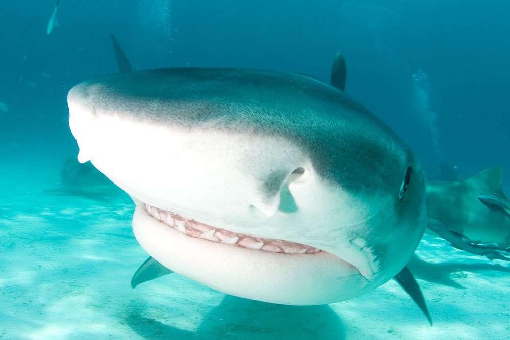 Les requins-tigres, dont le corps est brun-gris et strié par des zébrures verticales, peuvent atteindre 4 m de long et peser jusqu'à 500 kg. Ils seraient responsables d'environ 20 % des attaques mortelles. © Willy Volk, cc by nc sa 2.0