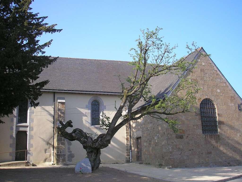 L'aubépine de Saint-Mars-de-la-Futaie serait âgée de plus de 1.700 ans. © Ikmo-ned, Wikipedia