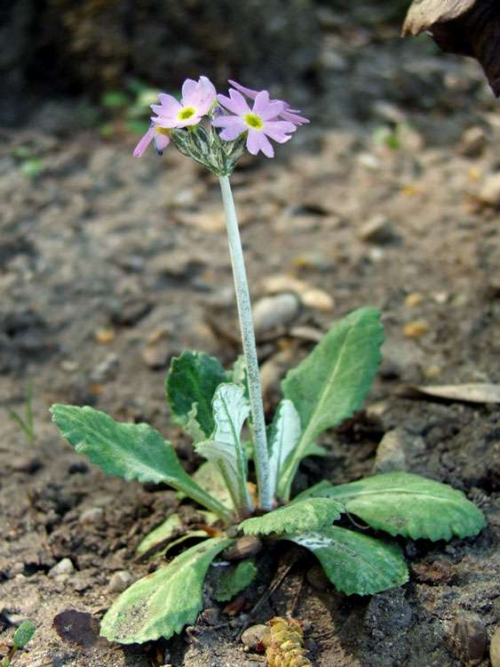 Primula laurentiana, aussi appelée primevère laurentienne. © DP