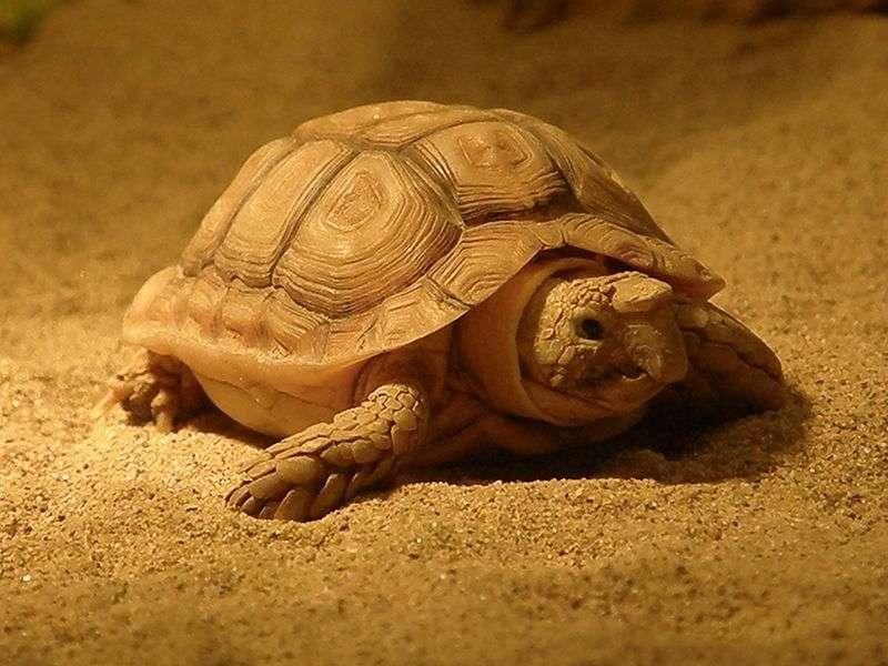 Homopode aréolé (Homopus areolatus). © Frank Wouters, Wikipedia, cc by 2.0