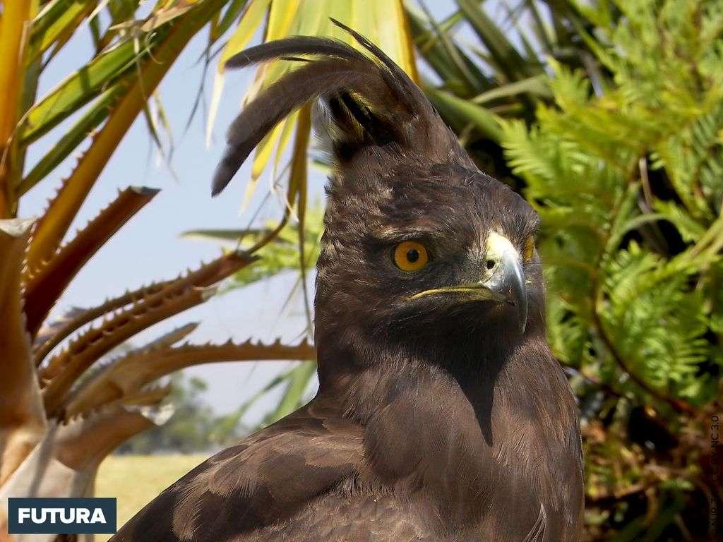 Aigle huppard - Lophaetus occipitalis