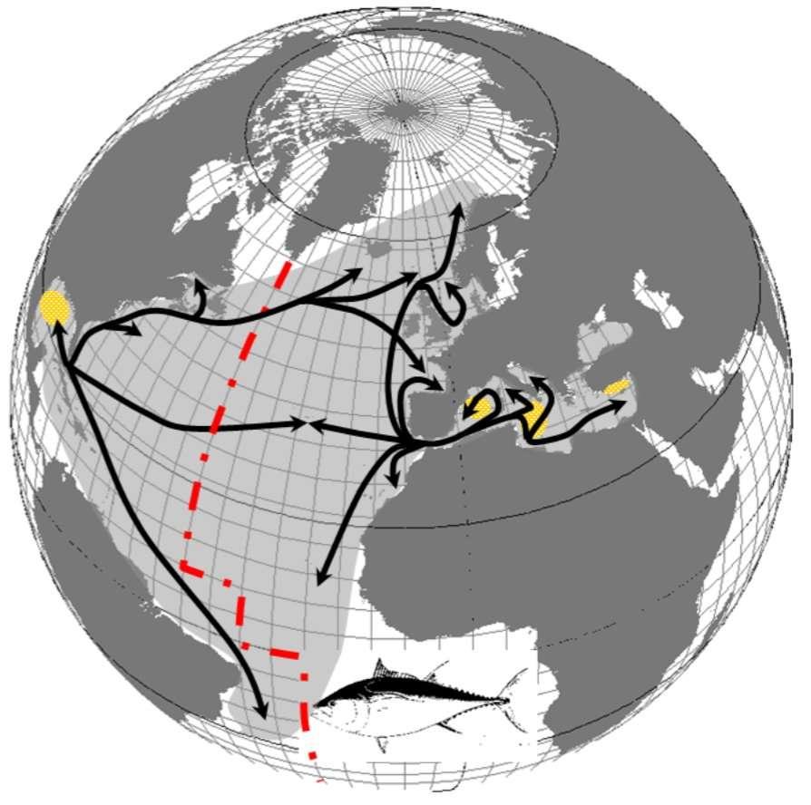 Les populations de thon rouge de l'Atlantique (Thunnus thynnus) vivent dans l'Atlantique sur une vaste plage de latitudes, ainsi qu'en Méditerranée. © Ifremer