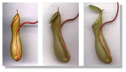 Figure 9. Formation de l'urne adulte. La partie terminale de l'urne se découpe et se transforme en un couvercle qui se soulève. © Biologie et Mulitmedia