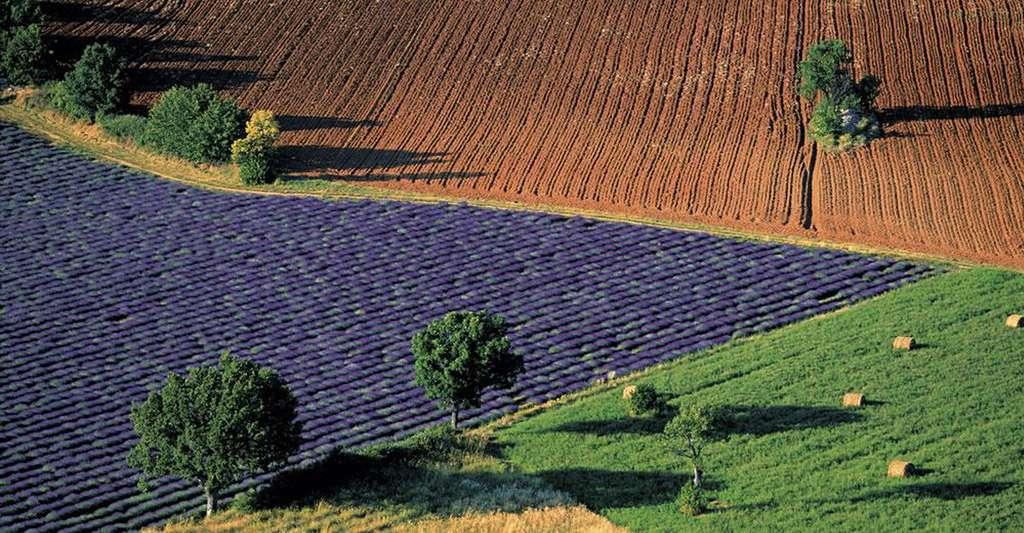 Paysage de champs colorés près de Sarraud, Vaucluse, France (44°01' N – 5°24' E). Sur le plateau de Vaucluse, relief calcaire à l'est du département du même nom, les champs de lavande s'épanouissent sous la chaleur et la sécheresse de l'été méditerranéen. Développée à partir des années 1920 pour la production, par distillation, d'huile essentielle utilisée en parfumerie et en aromathérapie, la culture de la lavande fine a ensuite été concurrencée par celle du lavandin (un hybride de lavande fine et de lavande aspic) et les produits de synthèse. © Yann Arthus-Bertrand - Tous droits réservés